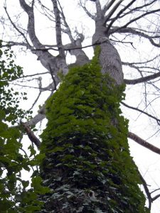 English Ivy Climbing a Tulip Poplar, photo courtesy Thomas Scheitlin