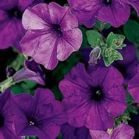 Wave Petunia, Ball Horticultural Co.