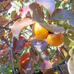 Japanese Persimmon