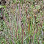 Red Switchgrass