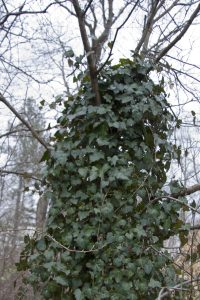 English Ivy Strangling a Dogwood, photo courtesy Thomas Scheitlin
