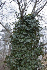 English Ivy Strangling a Dogwood, photo courtesy Thomas Scheitlin