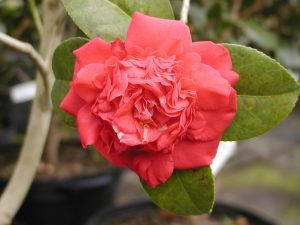 April Tryst Photo Courtesy Camellia Forest Nursery