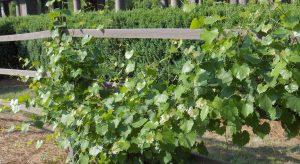 Grapes on a garden fence
