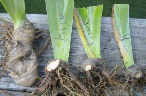 Irises after dividing