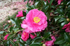 'Shishigashira', photo courtesy Camellia Forest Nursery
