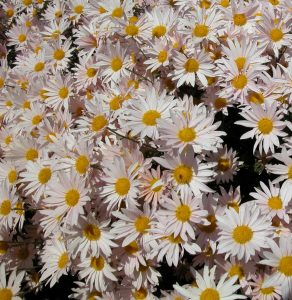 Apricot Daisy, photo courtesy Blair Durant/Niche Gardens