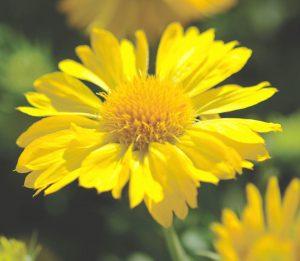 Gaillardia 'Mesa Yellow'