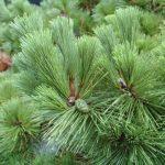 'Thunderhead' black pine/JC Raulston Arboretum