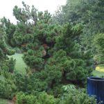 'Thunderhead'black pine/JC Raulston Arboretum