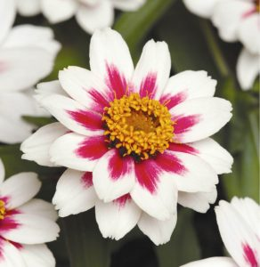 Zinnia 'Zahara Starlight Rose'