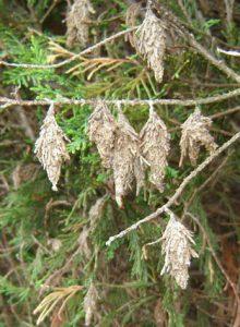 Bagworms:web