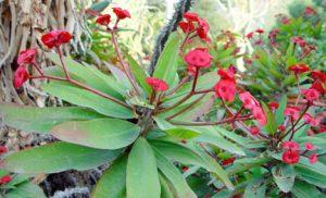 'Crown-of-Thorns'/JC Raulston Arboretum
