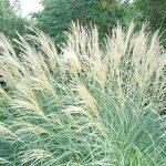 Dwarf Maiden Grass 'Adagio'