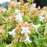 Kaleidoscope Abelia (Plant Haven)
