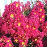 Berry Dazzle Dwarf Crepe Myrtle (Gardener's Confidence)