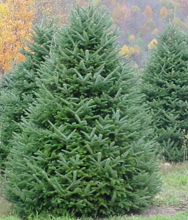 most people have a favorite christmas tree the scent the needle type and color all bring back memories of christmas past its easy to find your perfect - Type Of Christmas Trees