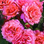Easy Does It (Weeks Roses)