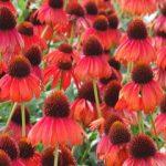 Firebird Echinacea (Terra Nova Nurseries)