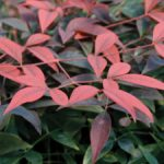 Flirt Nandina (Southern Living Plant Collection)