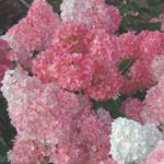 Vanilla Strawberry Hydrangea (Bailey Nurseries)