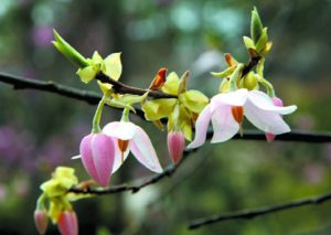 Melliodendron/Sarah P. Duke Gardens
