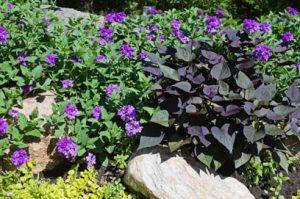 Verbena and Ace of Spades Sweet Potato Vine