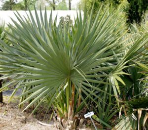 Dwarf Palmetto/photo JC Raulston Arboretum