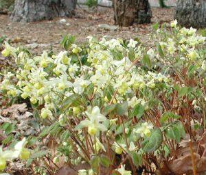 Epimedium'Sulphureum'