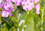 mildew on phlox