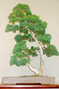Sargents Juniper bonsai/Dan Cormican