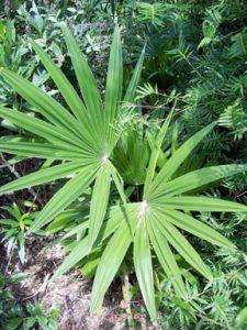 windamere palm