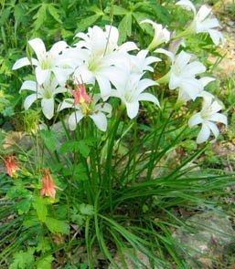 Atamasco Lily:web