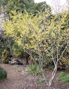 'Arnold Promise'/JC Raulston Arboretum