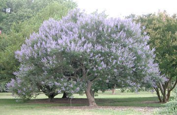 Chaste tree florida