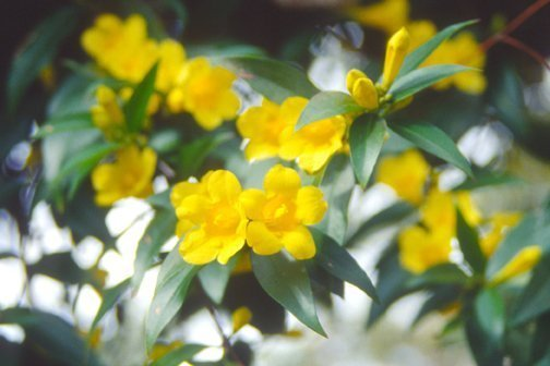 native vine carolina jessamine