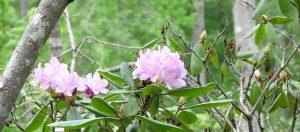 Catawaba Rhododendron by Doug Nicholas