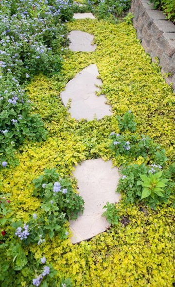 Using Groundcover As A Lawn Alternative Creeping Jenny