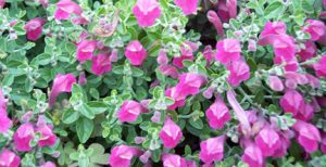 Texas rose skullcap