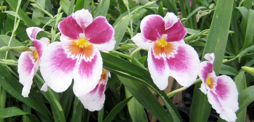 Easy To Grow Oncidium Orchids Triangle Gardener Magazine