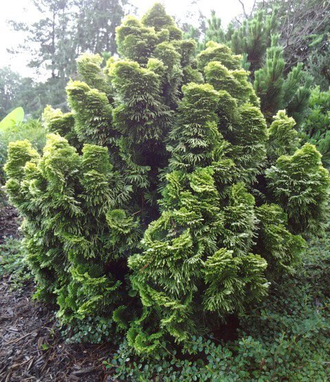 Great medium sized conifers for the garden triangle for Small sized evergreen trees