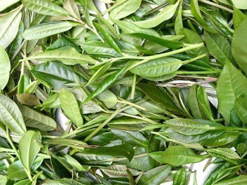 camellia leaves