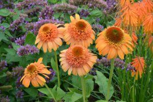Echinacea 'Supreme Cantaloupe' / by Terra Nova Nursery