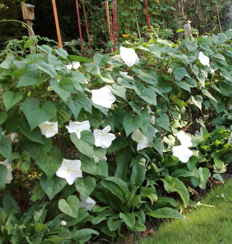 Picture of moonflower plant
