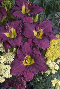 Daylily Rainbow Rhythm-by Proven Winners