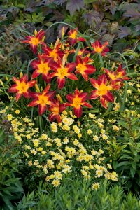 Daylily Ruby Spider-by Proven Winners