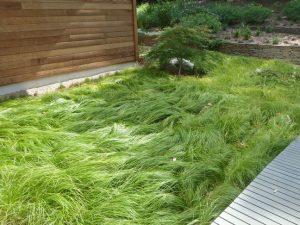 A carex lawn - by Dale Batchelor