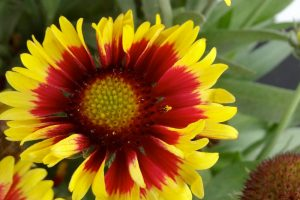 Gaillardia 'Sunset Mexican' / by National Garden Bureau