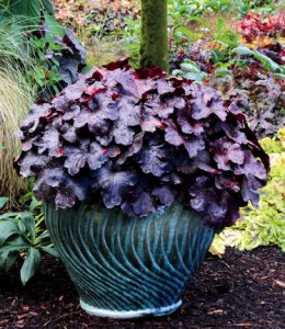 Heuchera 'Galaxy' / by Terra Nova