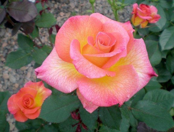 Best Roses For North Carolina Triangle Gardener Magazine